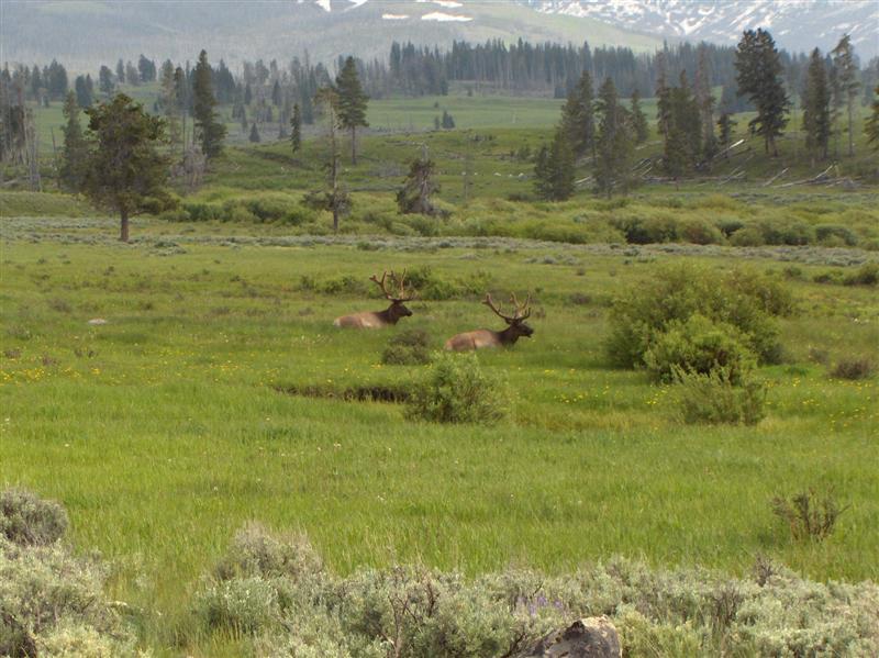 Usa Parchi dell'ovest, Grandi parchi americani, Yellowstone National Park, Ancora sorprese lungo la strada del parco, due alci