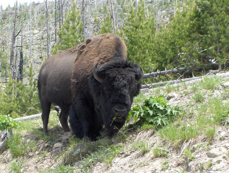 Usa Parchi dell'ovest, Grandi parchi americani, Yellowstone National Park, Bufali al pascolo, Brucano ai bordi della strada