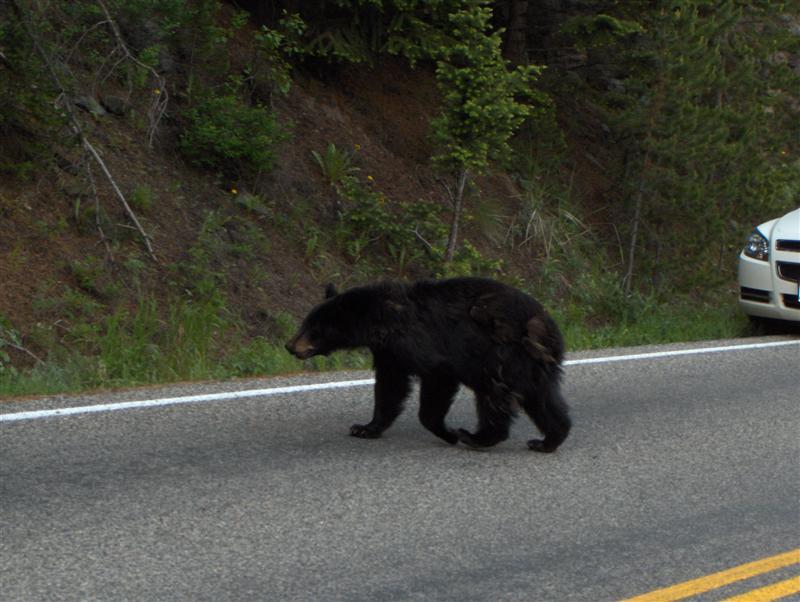 Usa Parchi dell'ovest, Grandi parchi americani, Yellowstone National Park, Un placido orso blocca il traffico